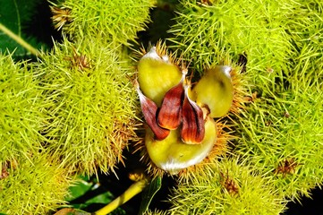 Edible chestnuts and pods © Arena Photo UK