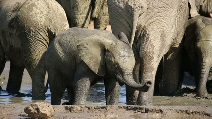 Playful African elephant baby splashing water
