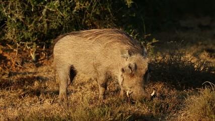 A male warthog feeding in natural habitat