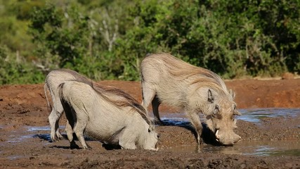 Three warthogs drinking water