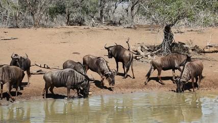 Herd of blue wildebeest drinking water