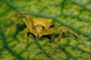 misumena vatia ragno aracnidi parco regionale delta del po