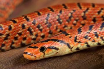 Japanese forest snake / Euprepiophis conspicillatus