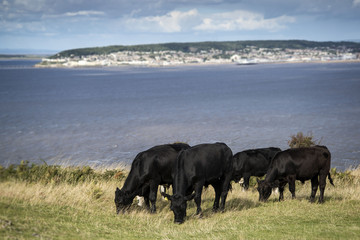 Landscape image of cows with Weston-Super-Mare in distant backgr