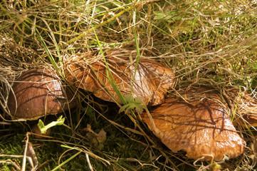 Edible fall mushroom Suillus luteus Slippery Jack