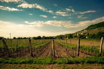 Hungarian vineyard, Somlo, Hungary
