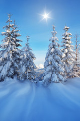 Coniferous trees in the snow