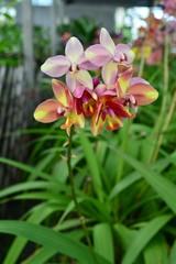 Spathoglottis Orchid Flower
