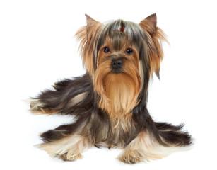 Dog with funny bang of hair