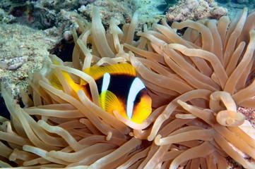 Anemonefish (amphiprion bicinctus)