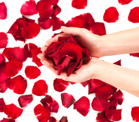 Rose petals in female hands over white background