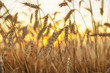 Ears on field during sunset. Agricultural composition