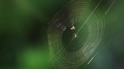 Spider building a web, time lapse