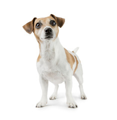 Beautiful Dog Jack Russell Terrier in full growth