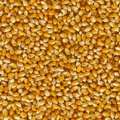 Corn Grains of  Close Up Background.