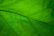 Leinwanddruck Bild - Green leaf