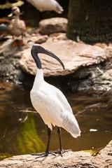 white bird (Australian black head ibis)