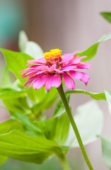 Zinnia flower or Zinnia violacea Cav in the garden