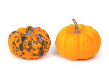 rotten  pumpkin and ripe  pumpkin
