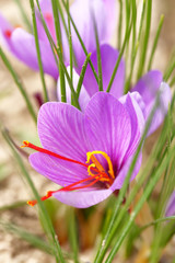 Close up of saffron flowers in a field