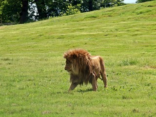 Lion in the UK zoo