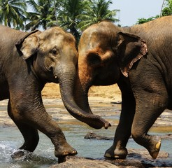 Two big wild indian elephants together one to one