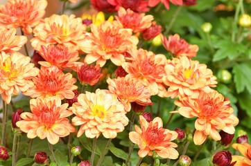 Beautiful bouquet from many autumn orange chrysanthemum