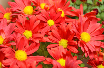 Beautiful bouquet from many autumn red chrysanthemum
