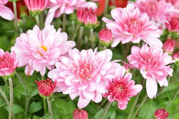 Beautiful bouquet from many autumn pink chrysanthemum, DOF