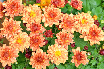 Beautiful bouquet from many autumn orange chrysanthemum