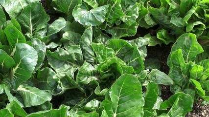 Vegetable Plants, Leaves, Foliage, Nature