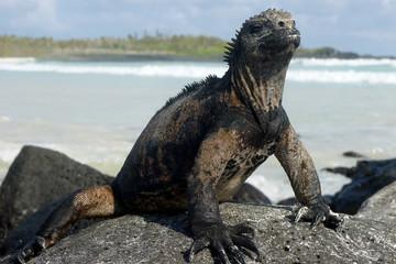 Marine iguana relaxing on the rock. Galapagos islands, Ecuador
