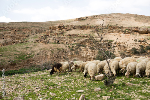 Sheep - 72514416