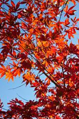 Fächer-Ahorn im Herbst
