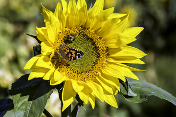 Sunflower with butterfly