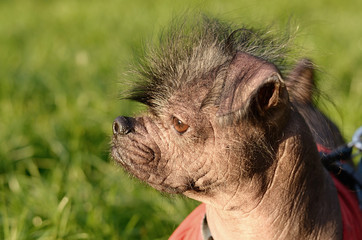 Closeup photo of a hairless dog