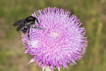 Bumblebee on Thistle Flower 02