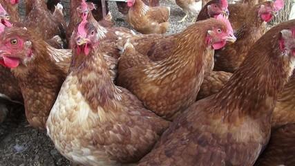 Hens, Chickens, Birds, Animals