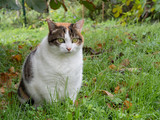Fat cat. Rather obese domestic moggy in garden. poster