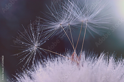 Keuken foto achterwand Paardebloem dandelion seeds macro ease