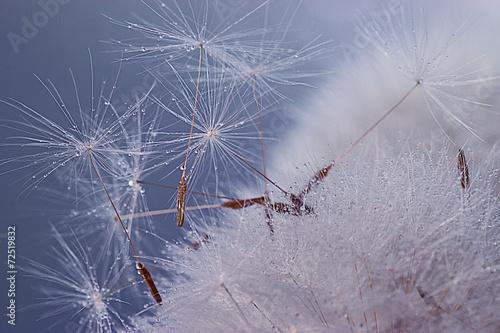 dandelion seeds macro ease - 72519832