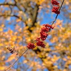 branch with ripe rowan berries