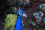 Textures and colors of the peacock