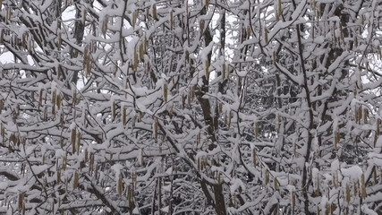 Heavy snow falling in  forest in winter time