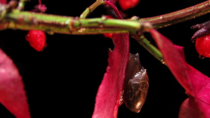 Garden snail close up. Time lapse.