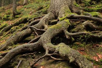 Wurzelwerk im Nationalpark Sächsische Schweiz