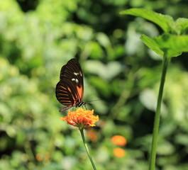 papillon sur fleur de lantanier