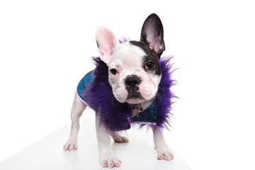 pimp looking dressed french bulldog puppy standing