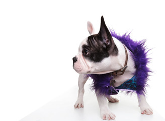 dressed little french bulldog puppy looking to its side