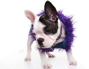 sad little french bulldog puppy wearing furry clothes